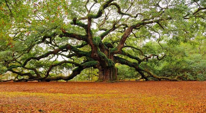 Superbe arbre avec élagage naturel